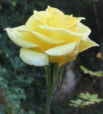 معلومات عن ورد الجوري yellow_rose.jpg