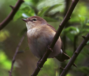 garden warbler by Tommy Holden. British Trust for Ornithology website