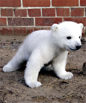 knut the bear