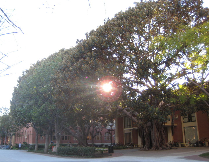 the tree, Banyan at USC
