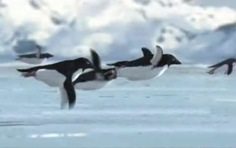 penguins in flight image from daily telegraph