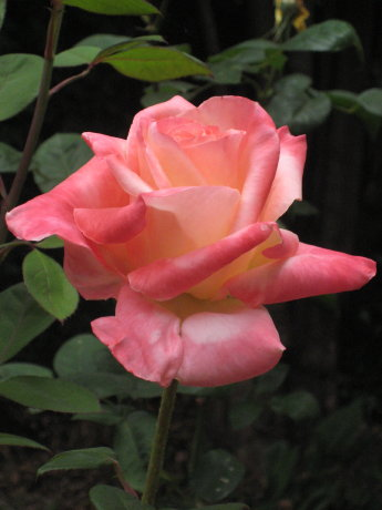 It is Earth Day today. Here's a rose from my garden in celebration.