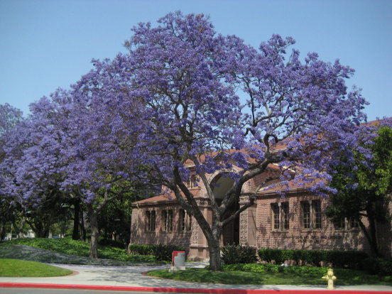 jacarandas on USC campus