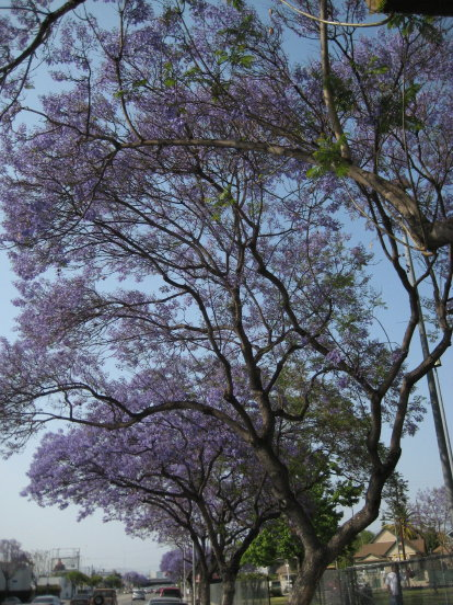 jacarandas on Hoover Street