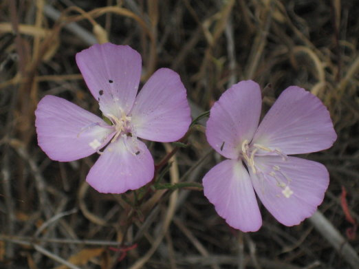 purple clarkia