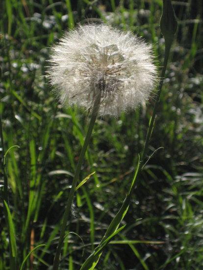 dandelion seed sphere