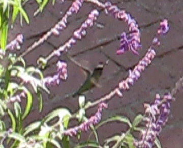 hummingbird_still