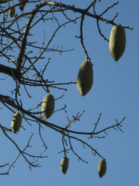 pods on a tree at new year