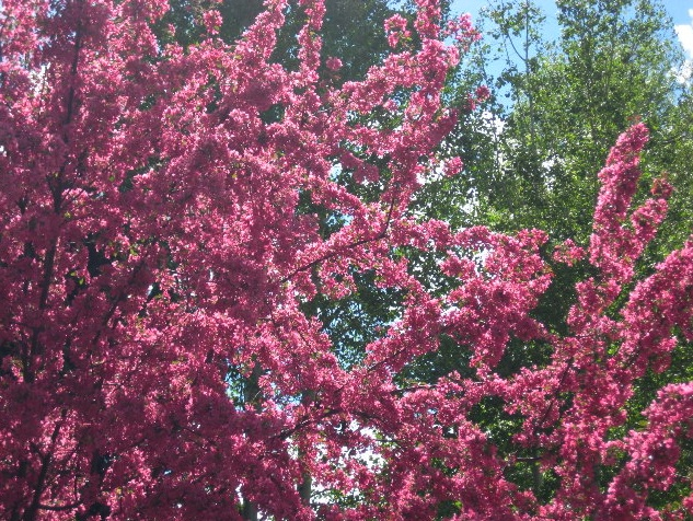 pink_blossoms