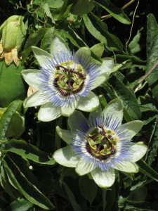 passion_flower_pair