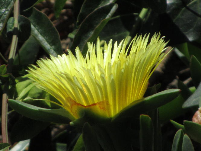 yellow_succulent_flower_1
