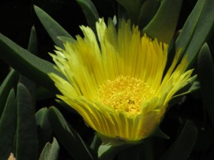 yellow_succulent_flower_2