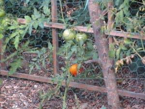 tomato_gift