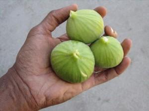 white_figs