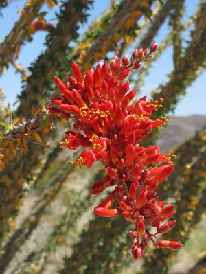 flowers_at_joshua_tree_1_1