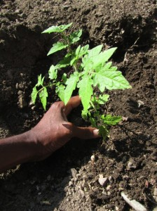 tomato_planting
