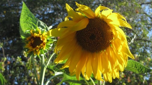 sunflower_june_2013