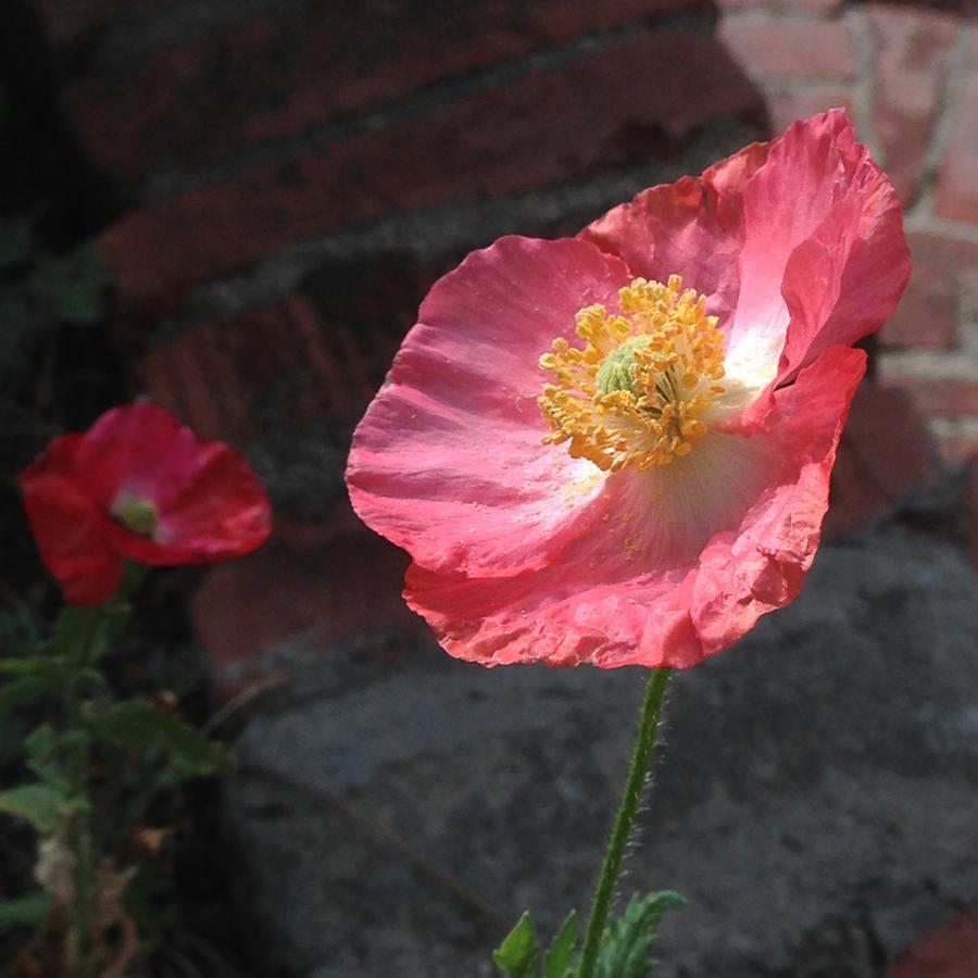 poppy_wild_flowers