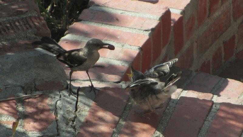 baby_mocking_birds_1