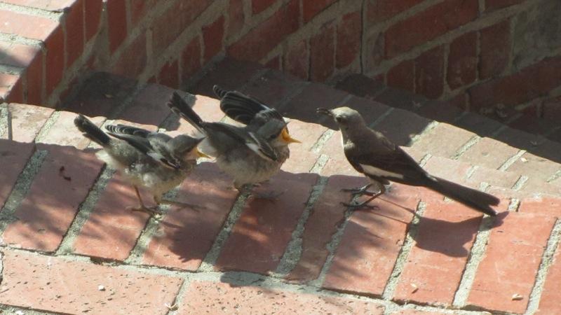 baby_mocking_birds_2